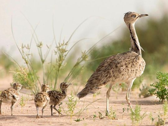 Abu Dhabi and Israel sign conservation agreement to protect Houbara bustard and other vulnerable species